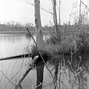 Snag, Swamp near Atsion